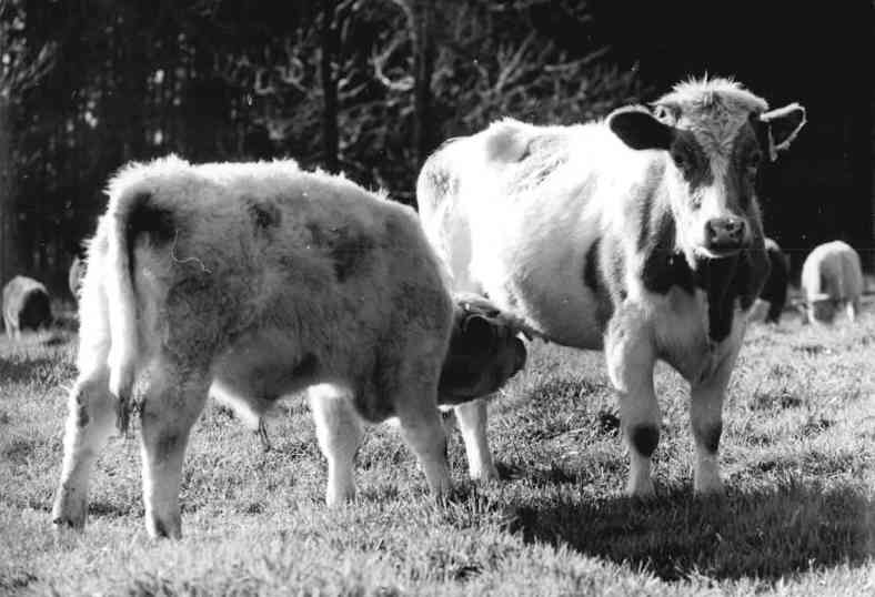 Ein Kalb auf der Weide wird von der Mutter gesäugt. Kuhmilch ist für Kühe da. Milchsäure gibt es nicht nur in Kuhmilch.