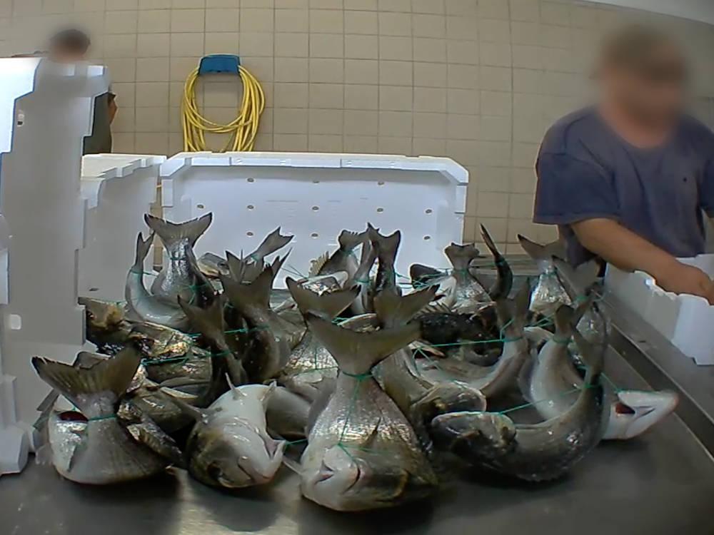 Auch diese Fische wurden mit einer Schnur zusammengebunden, weil Händler das so wünschen, wie Essere Animali bereichtet. Das ist Tierquälerei bzw. Fischquälerei.
