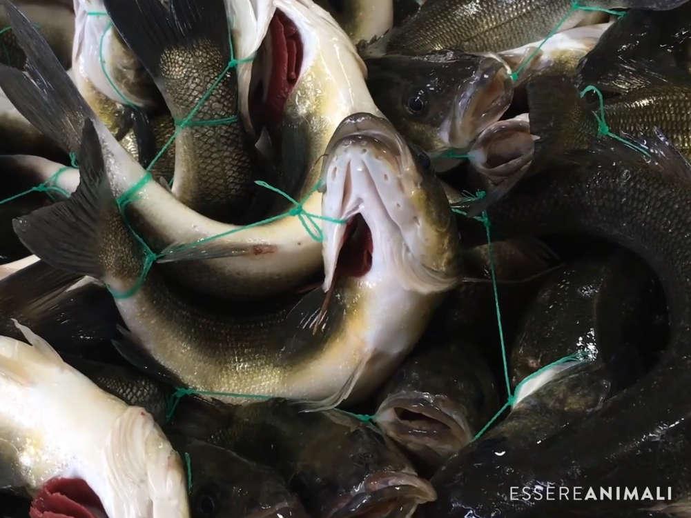 Hier werden Fische auf Kundenwunsch mit einer Schnur zusammengebunden, um Frische zu garantieren - Tierquälerei pur.