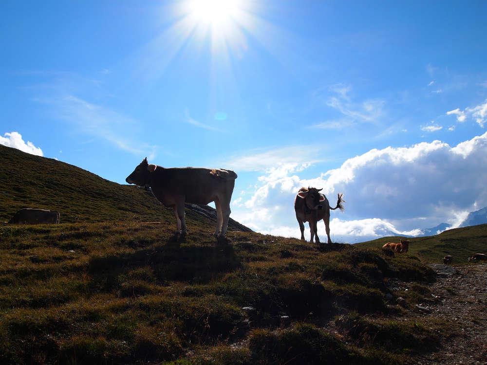 Kühe auf der Alm in den schweizer Hochalpen gegen die Sonne fotografiert.