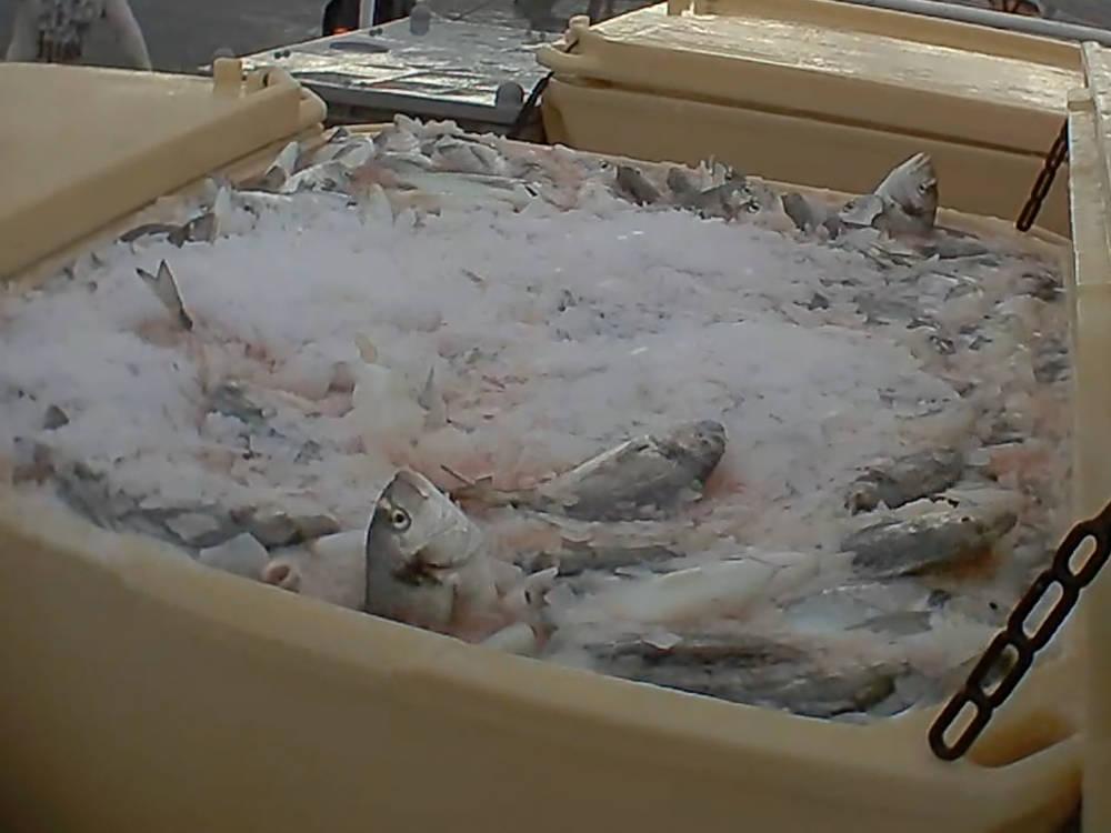 Nach dem Fang werden die Fische lebendig in Eis-Boxen geschüttet.