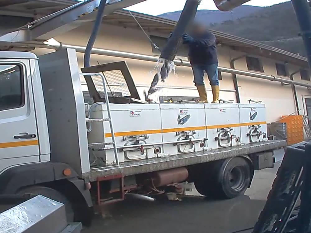 Fische werden in den Transport-Lastwagen geschleudert und dabei durch den enormen Stress gequält.