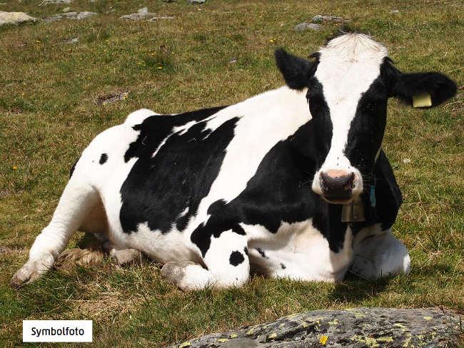 Der sogenannte BMMF-Erreger, der sich in Rindfleisch und Kuhmilch findet, soll das Risiko für Darmkrebs erhöhen.