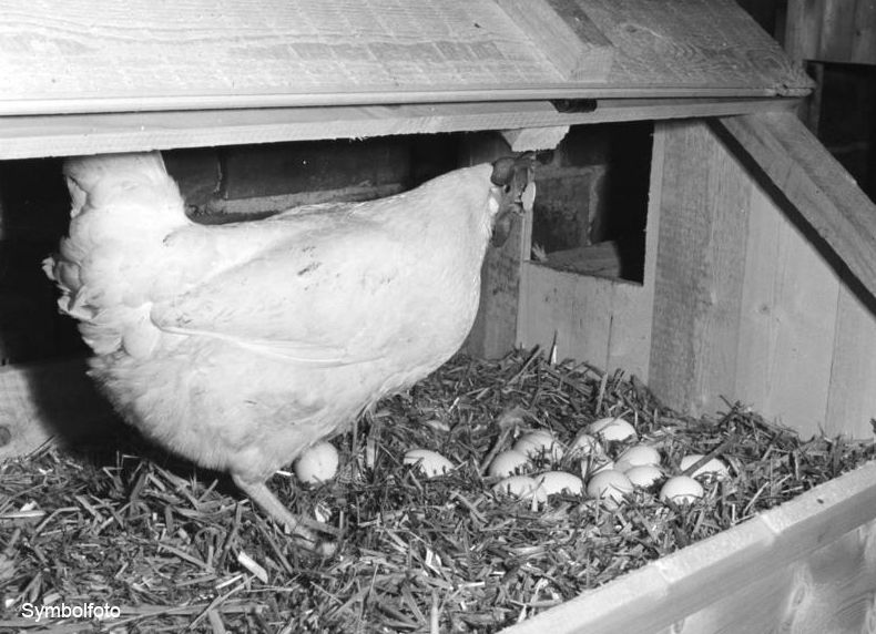 Ein Huhn mit Eiern - eine Legehenne.