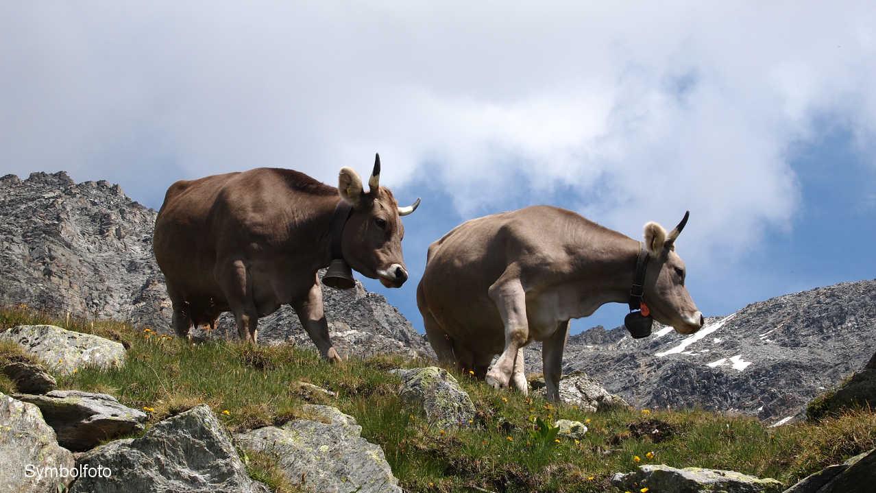 Kühe auf der Alm in den Schweizer Hochalpen.