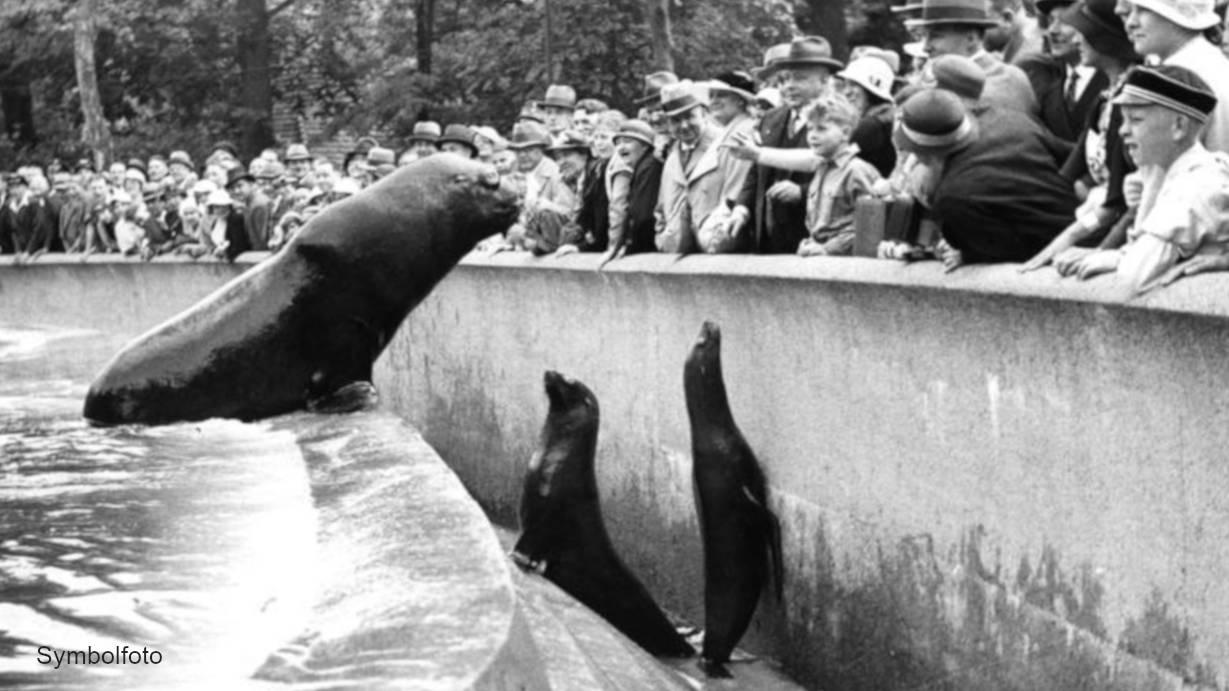 Seehunde (Robben) im Berliner Zoo vor einer Menschen-Menge.