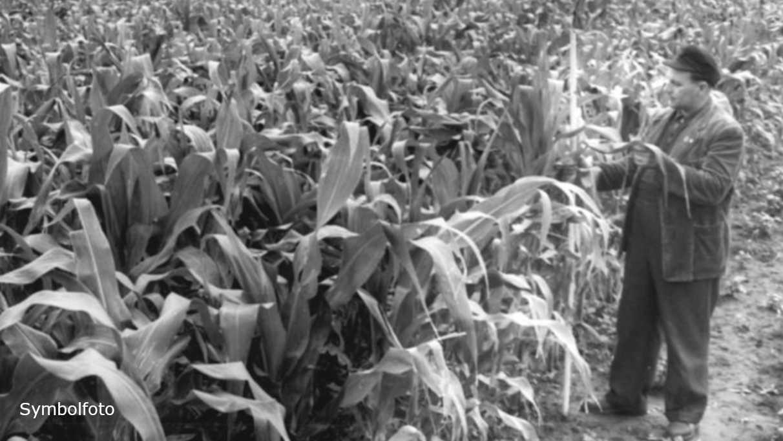 Feld mit Mais.