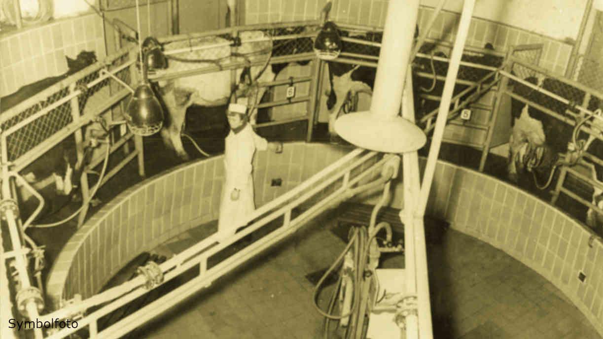 Kühe stehen in einem Melkkarussell, das von einer Mitarbeiterin bedient wird. Die Milch fließt über eine Glasleitung zum Milchbehandlungsraum.