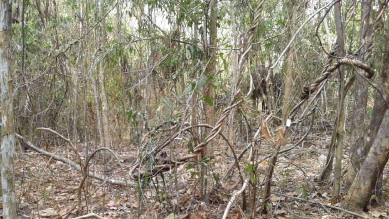 Baumbestand in einem Sekundärwald im Amazonasgebiet.